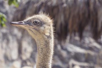 Big funny bird: closeup photo of ostrich