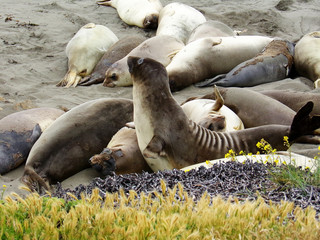 Horde of elephant seals sleeping on the California beaches - Road Trip Down Highway 1 Discovery Route Along the California Coast