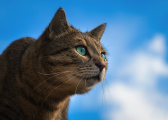 Hunting tabby cat in front of blue sky