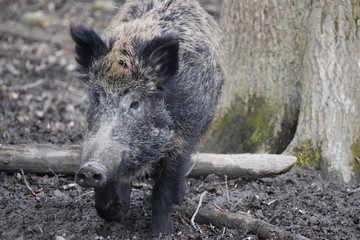 Closeup of a dark brown wild boar