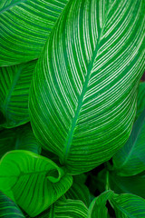 Green canna lily leaves for Nature background