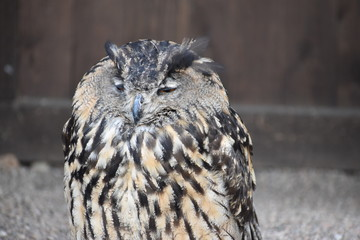 Portrait of a wonderful brown majestic Eurasian Eagle Owl