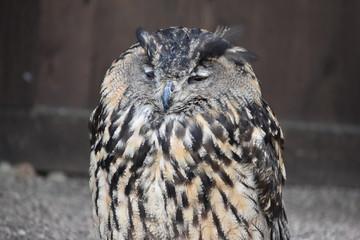 Portrait of a wonderful brown majestic Eurasian Eagle Owl