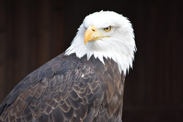 Wonderful majestic portrait of an american bald eagle