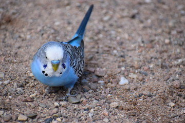 Closeup of a small light blue budgie in a park in Kassel, Germany