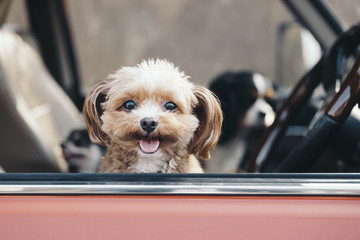 A smiling dog is watching here