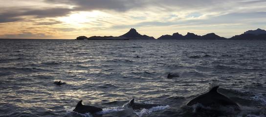 A Scenic Ocean View of a Dolphin Pod Near San Carlos, Sonora, Mexico