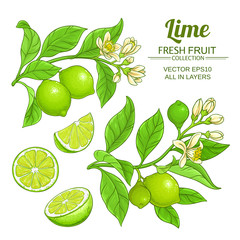 lime branches vector set