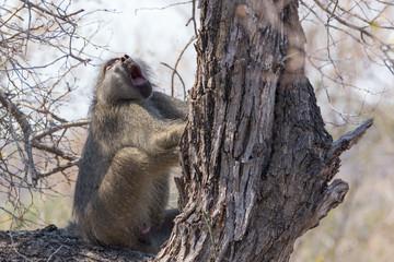 yawning monkey sitting on a tree