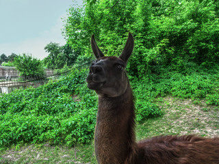 A bright portrait of a llama - guanaco close-up. Cute head of a dark brown cuddly Lama glama stares into the frame on a background of juicy spring-summer greens