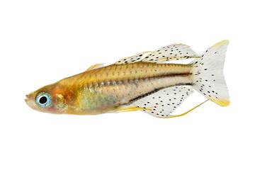 Spotted blue eyed rainbow fish Pseudomugil gertrudae aquarium fish Gertrude's Blue-Eye