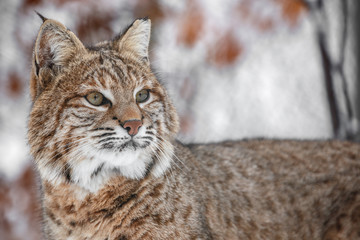Portrait of Lynx rufus.