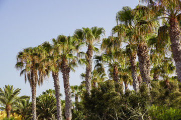 Palm trees on a blue sky and ble sky background,