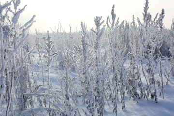 winter trees and grass in frost