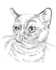 Monochrome Burmese cat