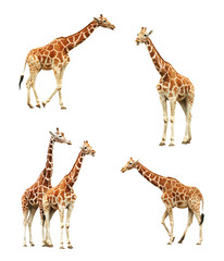 Giraffe set isolated on white background. Adult animals.