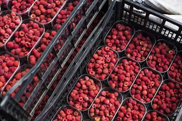 Crates of Harvested Raspberries.