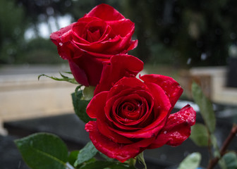 Roses in a cemetery as a symbol of love