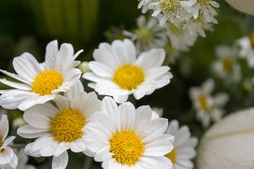 Hermosas margaritas blancas de un ramo