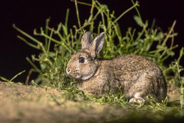 Rabbit at night