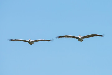 Flying spot billed pelican or grey pelican in Thailand