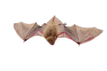 The bat on a white background