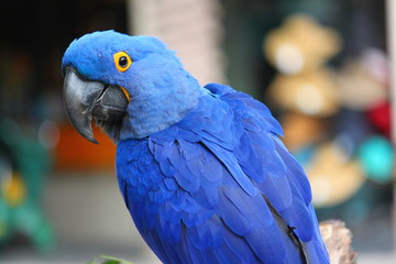 hyacinth macaw blue tropical rainforest bird