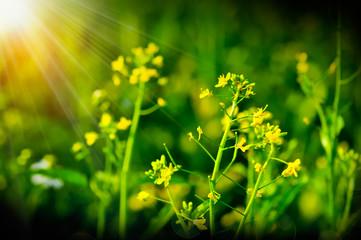 Flowering choy sum in garden, fresh organic green vegetable gardening grow yellow flower, Choi sum floral or Chinese Cabbage