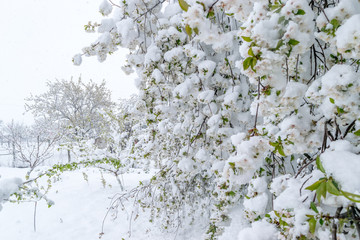 A natural calamity of snow during the bloom of the trees and the harvest
