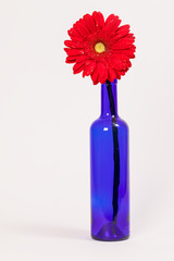 Red flower in a blue bottle on white background.