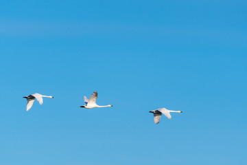 Migrating white swans