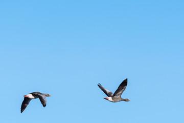 Migrating Greylag Goose couple