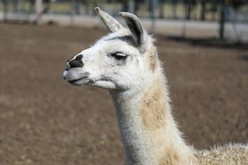 Close up of Llama head and face