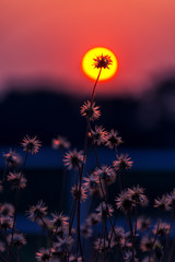 Close-up of grass flower with a background in the center of the sun, at sunset