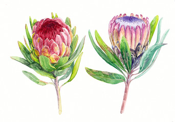 Watercolorhand-drawn illustration of exotic flowers (protea) on white background (isolated)