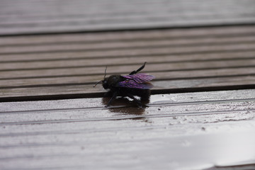 Insekt mit lila schimmernden Flügeln putzt sich und streckt ein Bein in die Höhe
