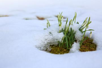 White snowdrop flowers under the snow.