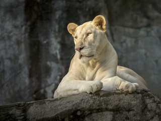 White female lion in the zoo's natural atmosphere.