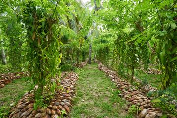Vanilla plantation. La Digue island rural landscape. Nature of S
