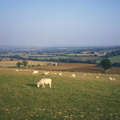 England, Cotswolds, Gloucestershire, sheep in the landscape
