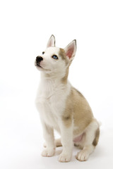 A cute young Husky dog puppy with piercing blue eyes sitting waiting obediently on a white seamless backdrop