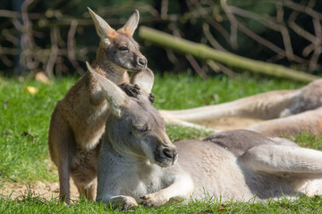 Cute joey animal image. Baby kangaroo holding onto mother