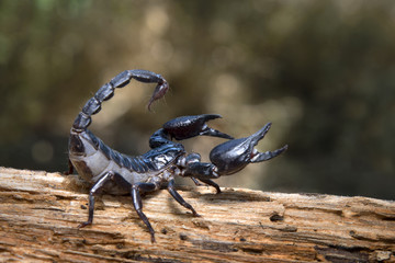 Scorpion in nature background.