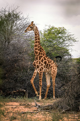 Giraffe in the savanna, a Safari in Africa