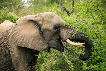 The elephant among the trees, a Safari in Zimbabwe