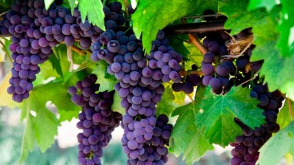 Magnificent grapes