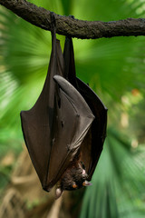 Malayan flying fox is hanging on a branch in jungle