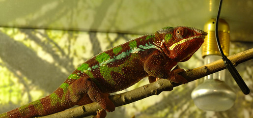 chameleon closeup on branch with background.jpg