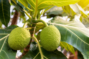Green Breadfruit with its leaves.