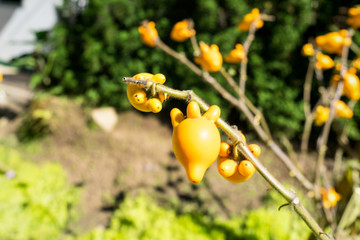 yellow Eggplant fruit on branch tree in gardent